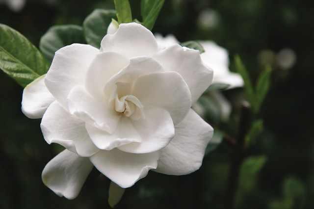 cuidados para la gardenia