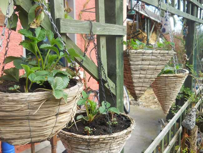 plantas para cestas colgantes fotos