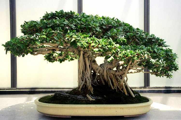 guia de cuidados del bonsai ficus, poda, riego y alambrado