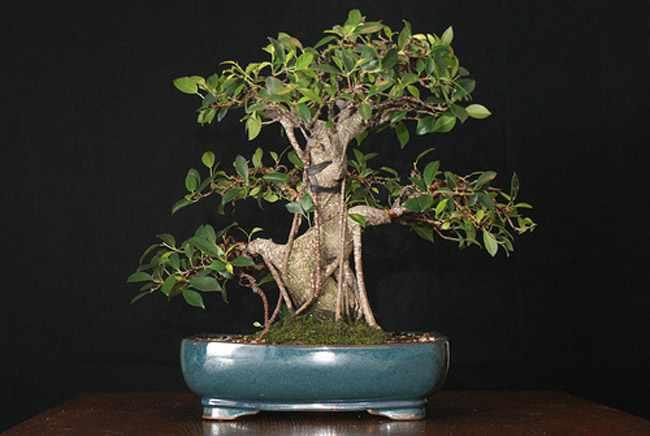 guia de cuidados del bonsai ficus poda riego y alambrado