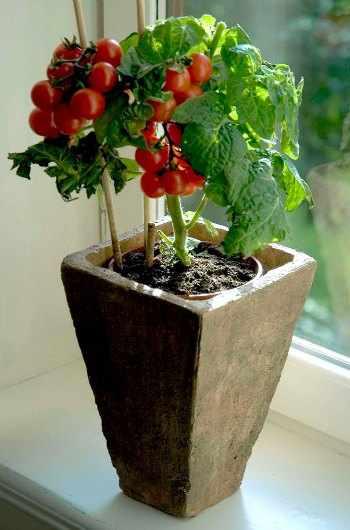 Como plantar tomates en casa - Tomates cherry en maceta ...