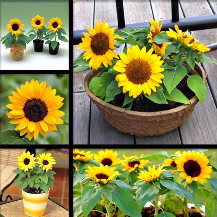 como plantar y cuidar un girasol paso a paso - trucos y consejos