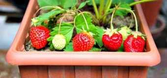 Cultivar fresas y rábanos en nuestro huerto urbano