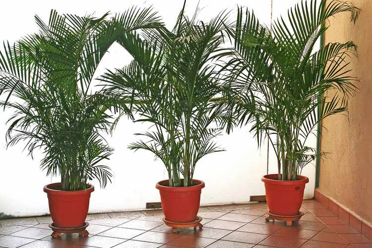 Plantas de interior tipos variedades cuidados y riego - Plantas de interior que no necesitan luz ...
