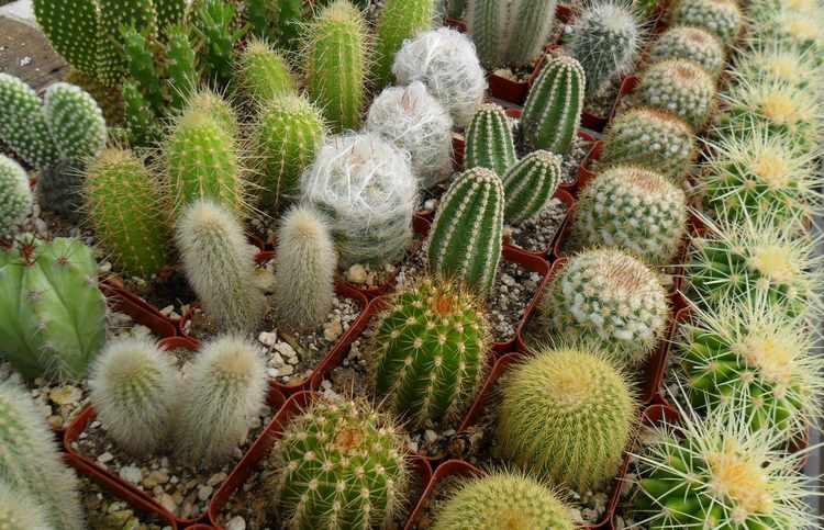 Cactus caracteristicas hojas tipos for Como plantar cactus