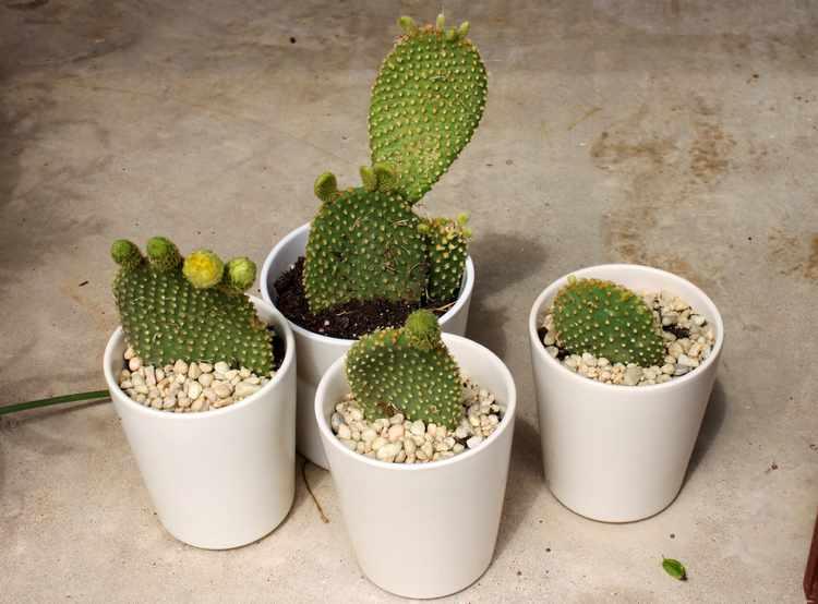 Cactus caracteristicas hojas tipos - Cactus de interior ...