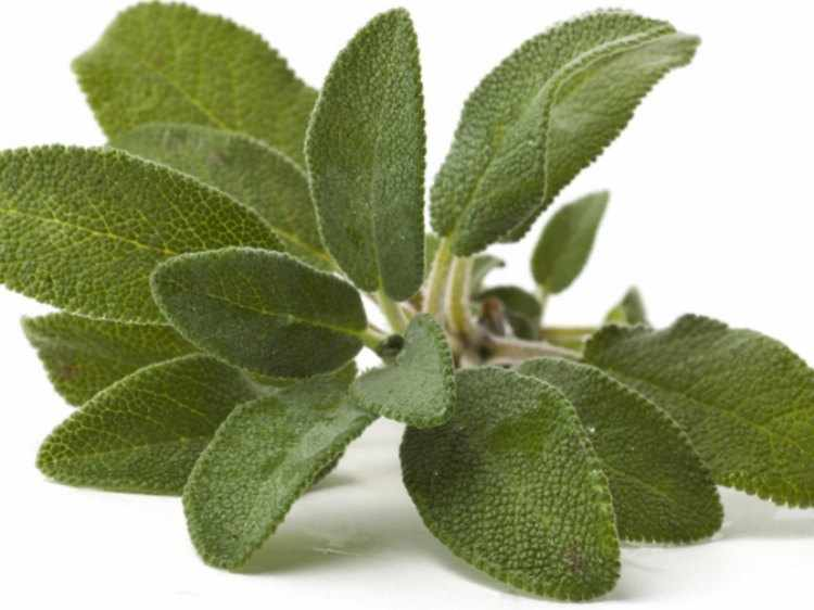 7 ejemplos de plantas medicinales nombres y propiedades for Hojas ornamentales con sus nombres