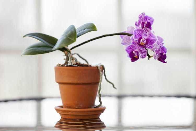Cuidados de las orquideas en macetas en casa trucos for Cuidados orquideas interior