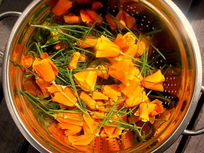 plantas para tratar el insomnio Amapola de California