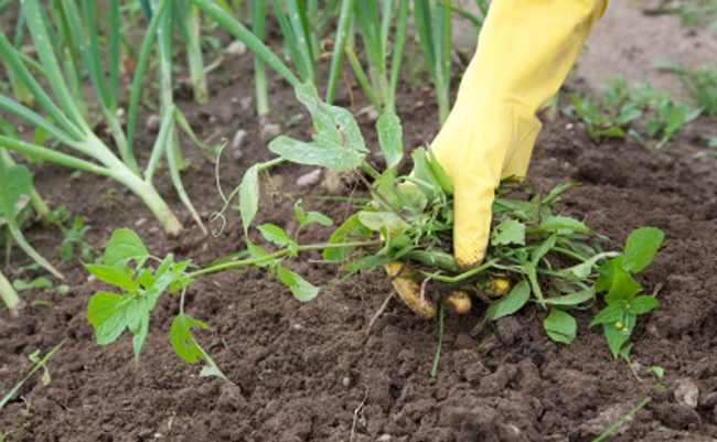Como eliminar maleza del jardin