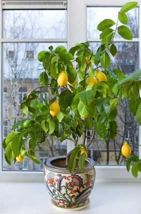 cuidado de arboles de citricos limon