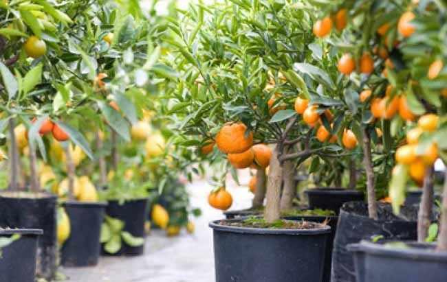 Cuidado de arboles de citricos