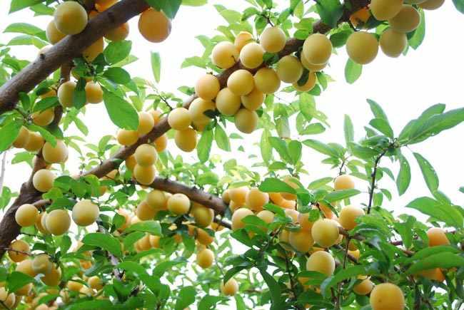 Como y cuando plantar arboles frutales