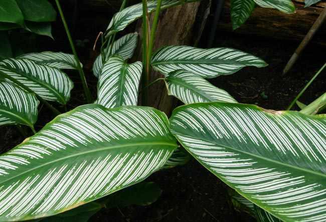 planta Calatea