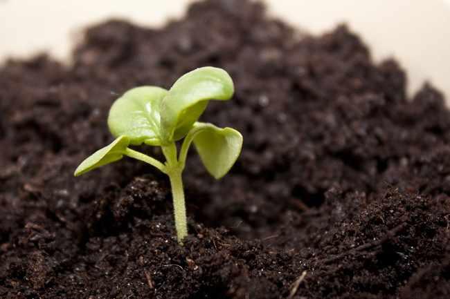siembra de hortalizas semillero de tomates