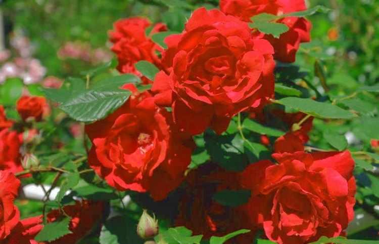 Como plantar rosas, cuidados,consejos y trucos