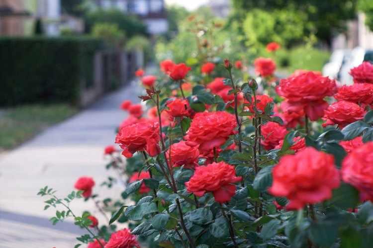 como plantar rosales en el jardín
