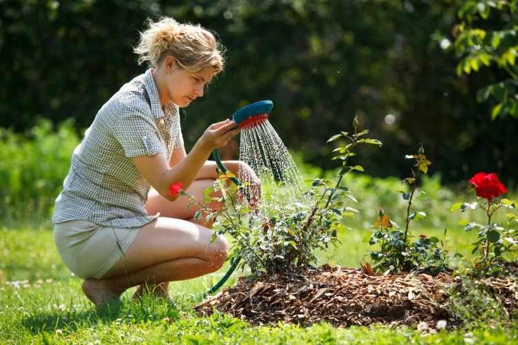 como plantar rosales en el jardin