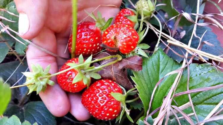 como plantar fresas en casa