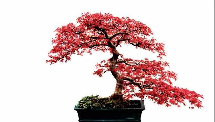 Cuidados basicos de un bonsai