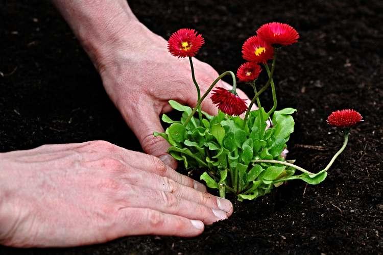 Como plantar margaritas
