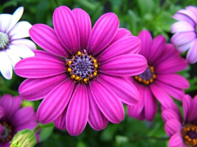 Margaritas africanas cuidados, riego y flores