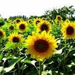 Como plantar y cuidar un girasol
