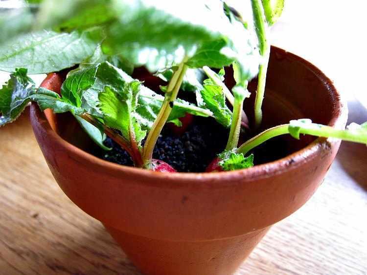 como plantar rabanitos en maceta