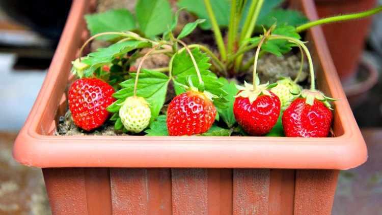 cultivar fresas en macetas