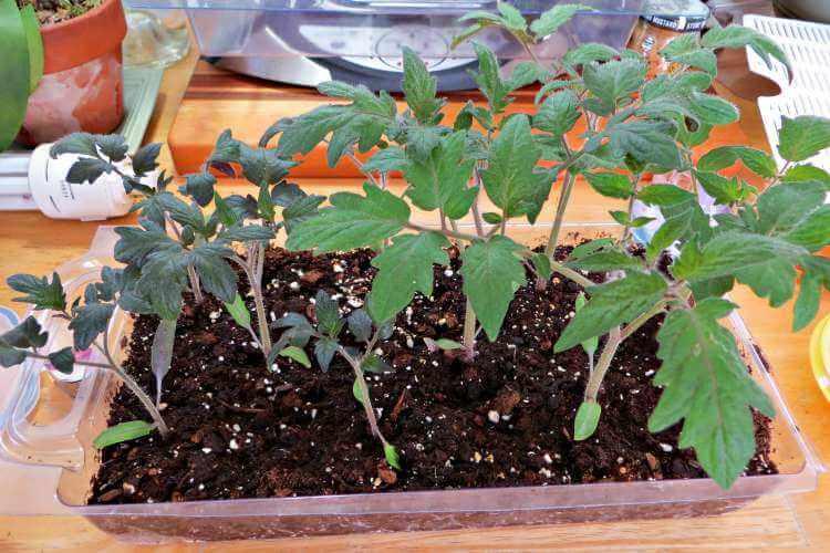 El fosforo en las plantas, usos y funciones
