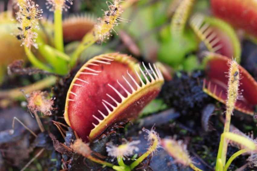 Plantas Carnivoras Tipos y Cuidados