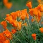 Amapola de California Propiedades Beneficios