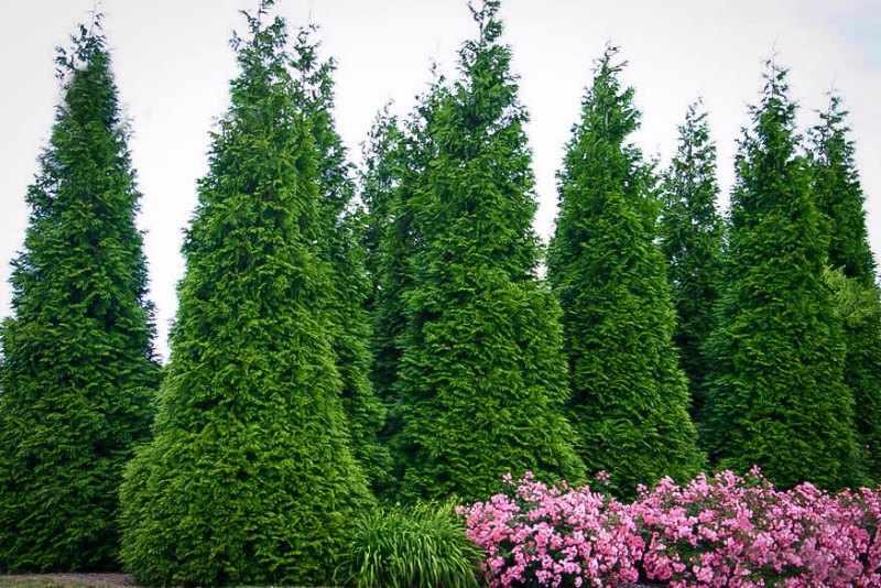 arboles de jardin de hoja perenne