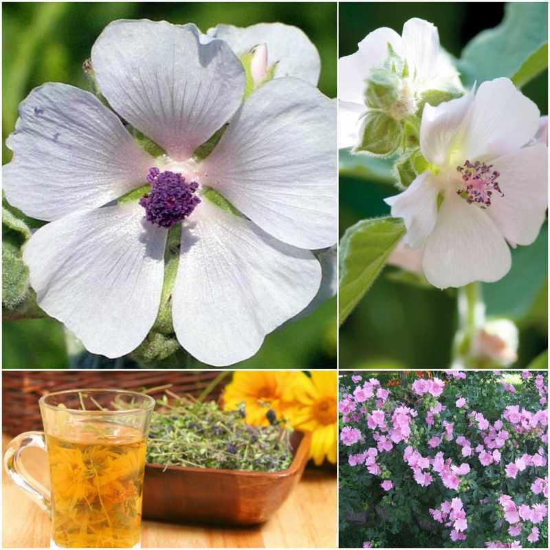 malvavisco planta medicinal