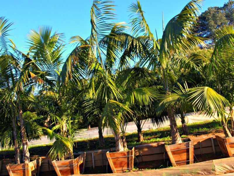 palmeras exterior maceta