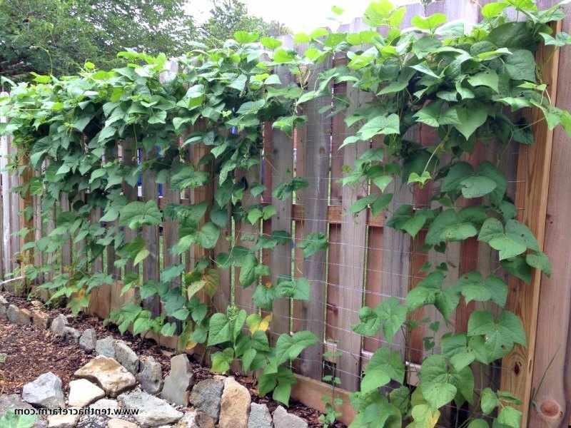 plantas trepadoras para cubrir vallas