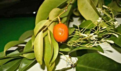 """Muira Puama, el """"Viagra del Amazonas"""" - Plantas afrodisíacas"""