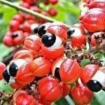 ¿Qué es el Guaraná? - Sus propiedades y beneficios