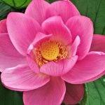 Flor de Loto - Propiedades beneficiosas