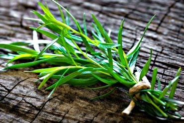Estragon planta
