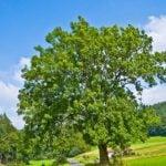 El Fresno, usos y beneficios de este árbol medicinal