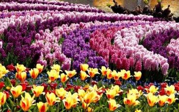 jacintos y tulipanes